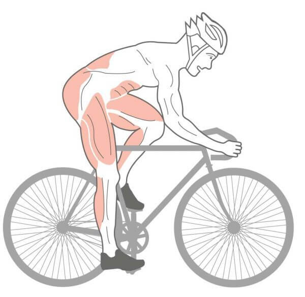 Muscle Anatomy of a cyclist